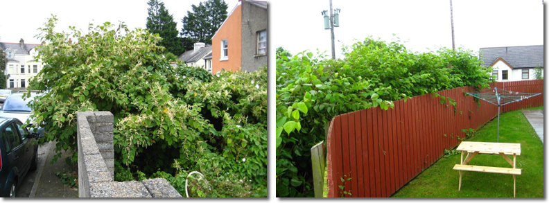 Japanese Knotweed in Northern Ireland